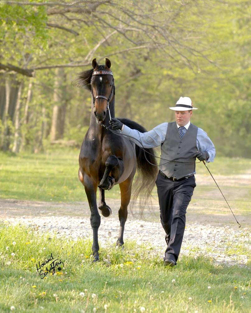 American Morgan Horse (morganhorse