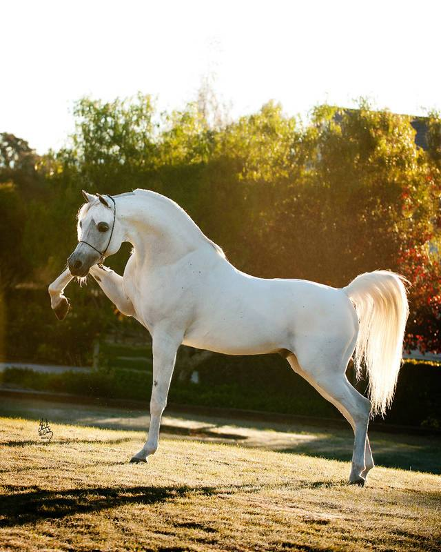 gray-white Arabian (pinterest