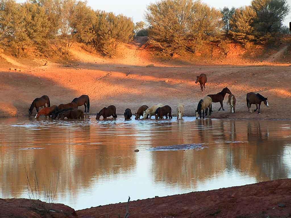 Brumby in Australia (ferrebeekeeper