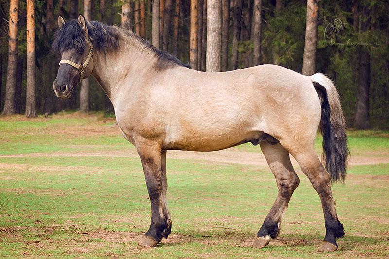 Vyatka Horse (kato-gintari