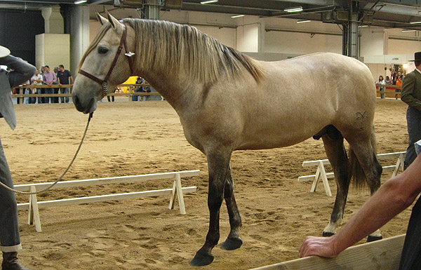 rose-grey- Horse Andalusian (theequinest