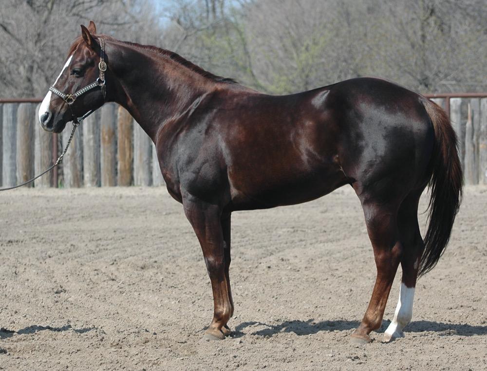 Quarter Horse (khongthe
