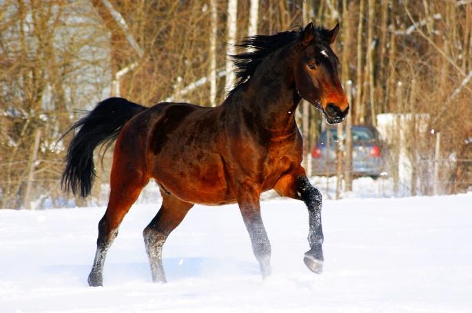 Latvian horse (wikimedia