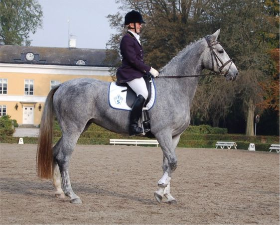 Swedish Warmblood (swb