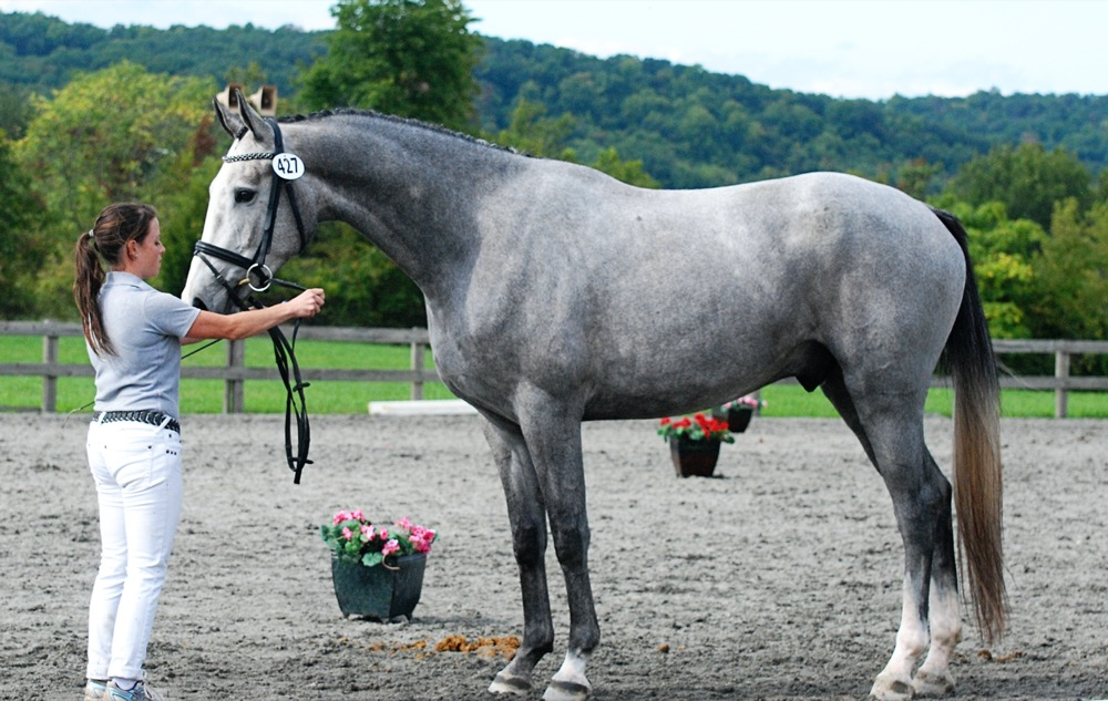 Gray Horse - Dutch Warmblood (useventing