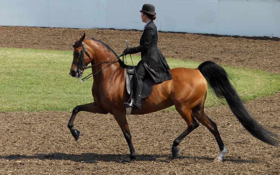 Morgan Horse (crowsnestphotography