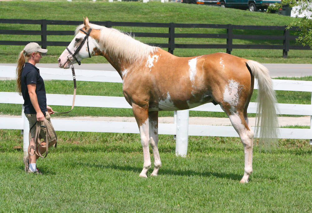 Throroughbred Palomino Sabino Stallion (flickr