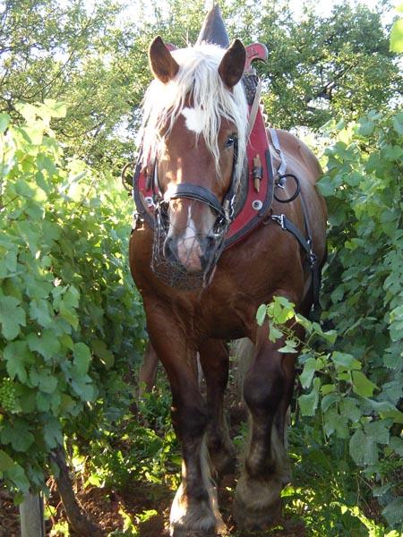 Comtois Horse (parcchevauxdumonde