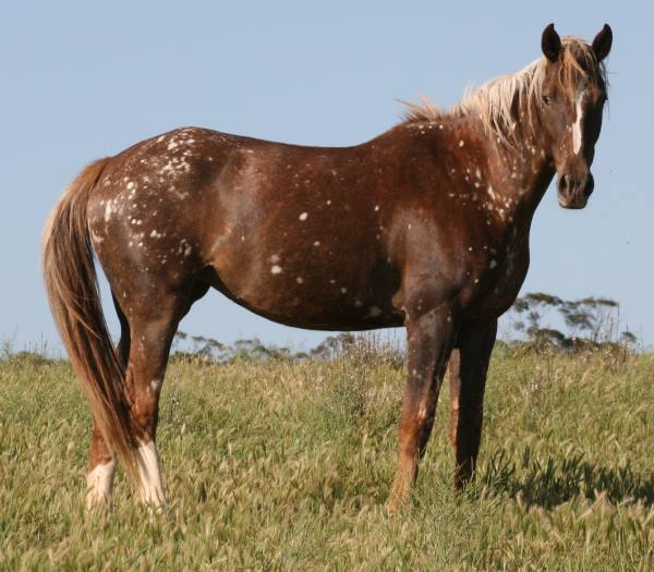Birdcather Horse (vichorse