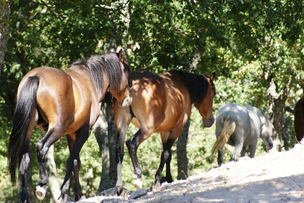 Rodopi horses, Greece (greece