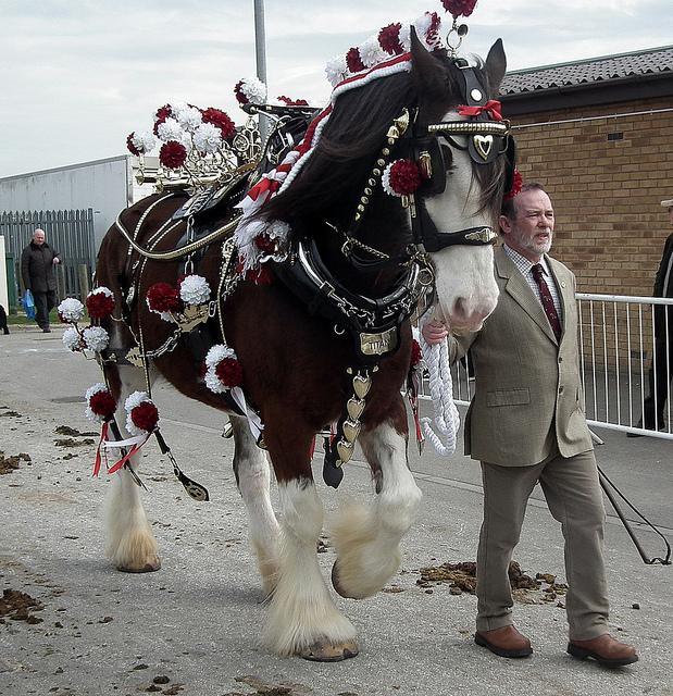 Shire Horse (horsealicious