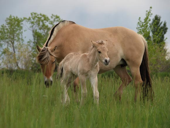 Fjord horse (breyerhorses
