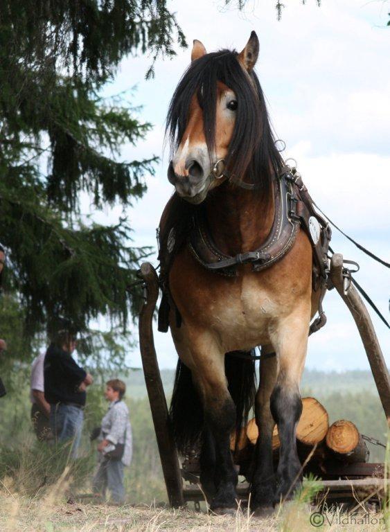North Swedish Horse (nordsvensken