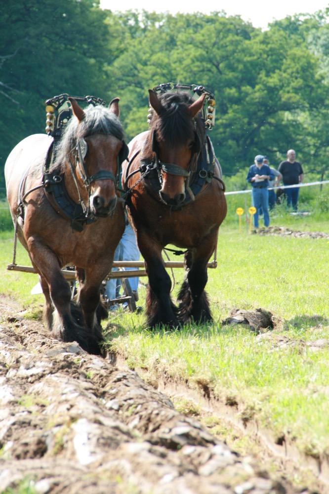Brabant horses (flickr