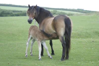 Exmoor Pony7