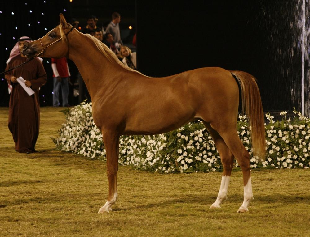 Arabian-Horse, Chestnut (fotocommunity