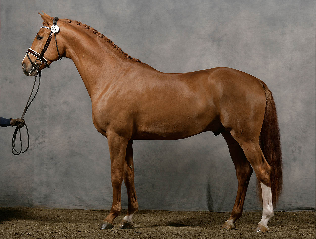 Swedish Warmblood - SWB, Damino SD (online