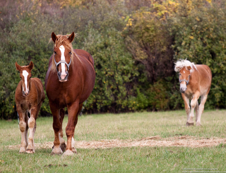 Belgian Draft Horse (flickr