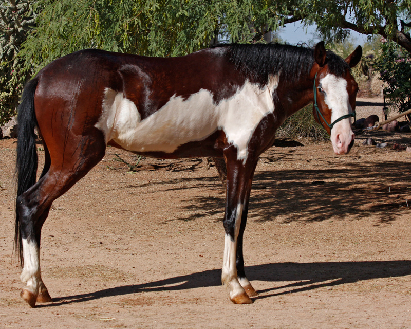 Frame Overo - Colonial Spanish horse (flickr