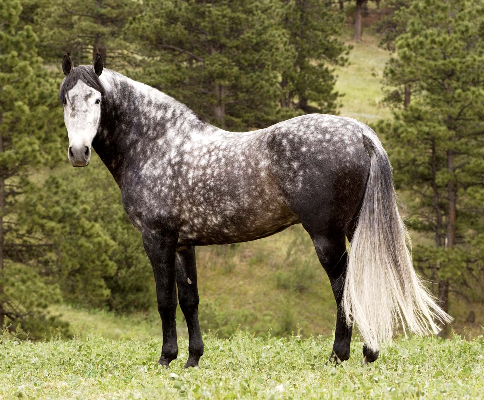 Andalusian , Pin gray Dappled (free-hdwallpapers
