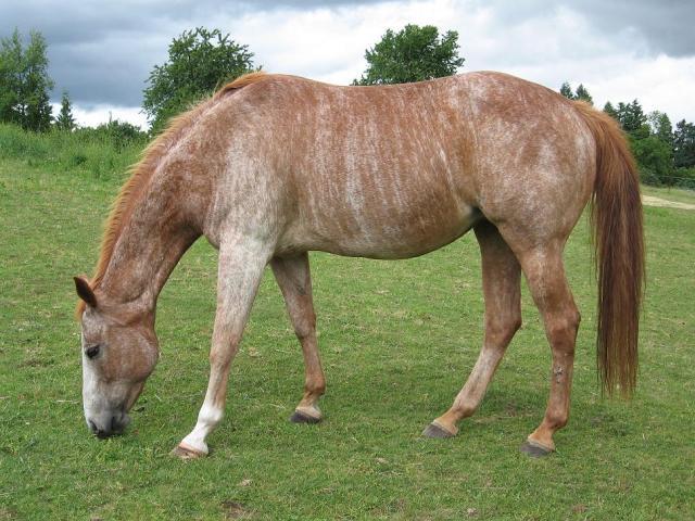 Brindle Horse - Spanish Mustang atı (chickensmoothie
