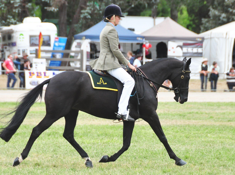 Australian Stock Horse (flickr