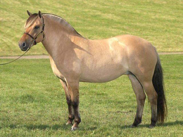 Fjord horse (horsebreedslist