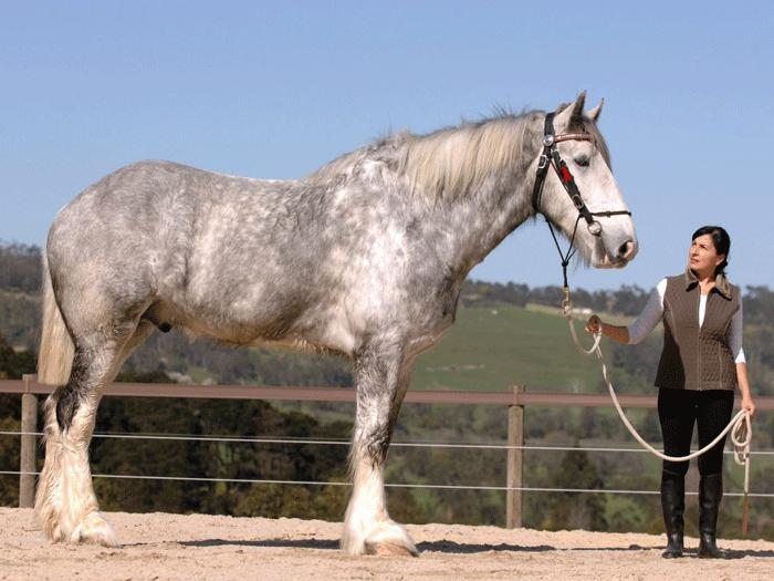Shire Horse (noticias