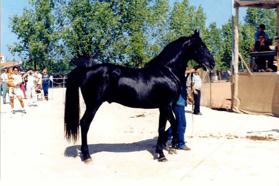 Greek_Horses - Zante (John Menegatos)