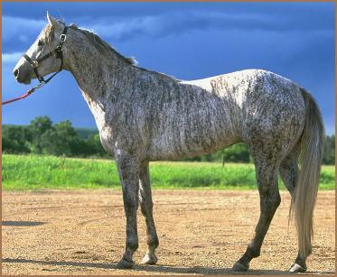 Brindle Horse (Мышастая масть) - Thorougbred