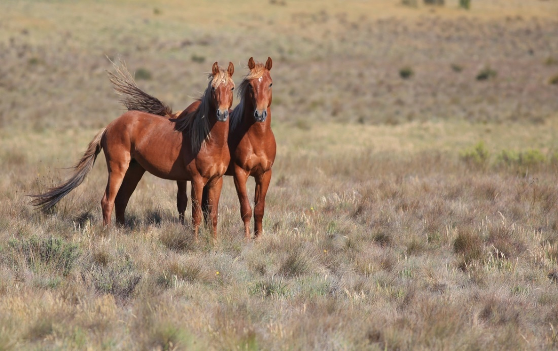 Brumby Horse (500px
