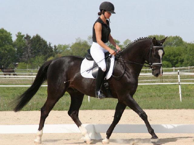 Trakehner (horsebreedslist