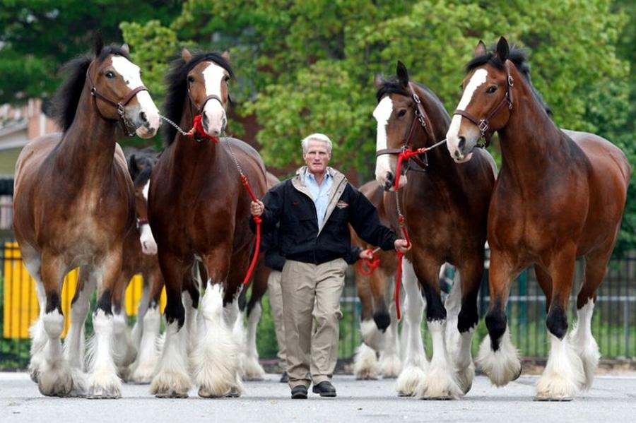Clydesdale (pixdaus