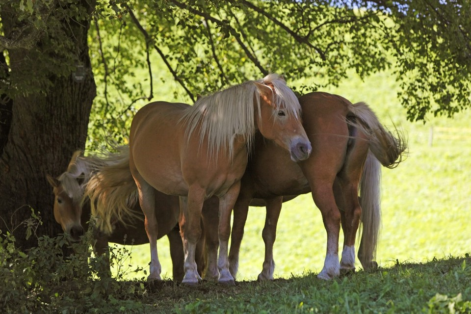 haflinger-horses-south-tyrol-breed-riding (hafling-meran2000