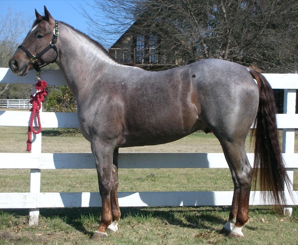 Quarter Horse Stallion (khongthe