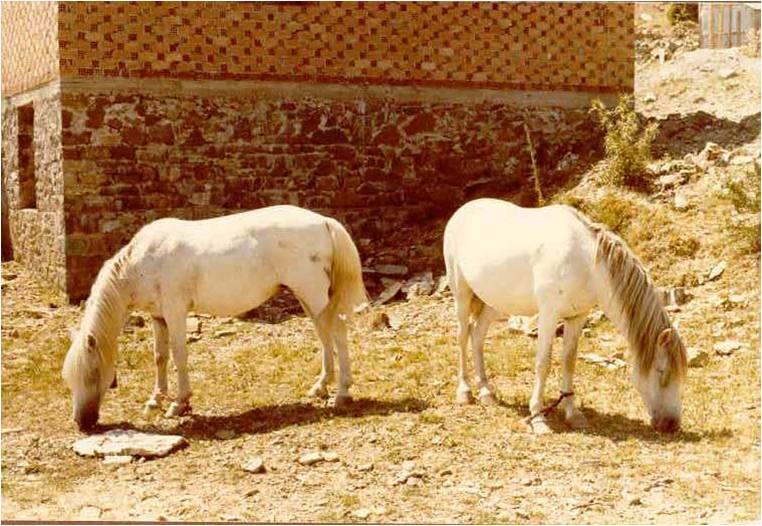 Pindos Pony (Menegatos)