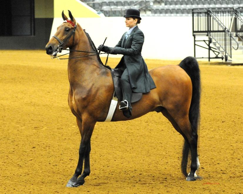 American Saddlebred Horse (board