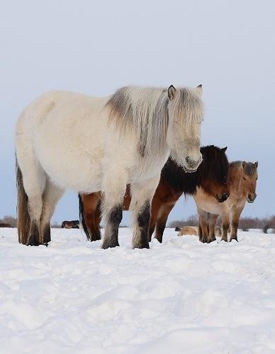 Yakut Atı (fotki