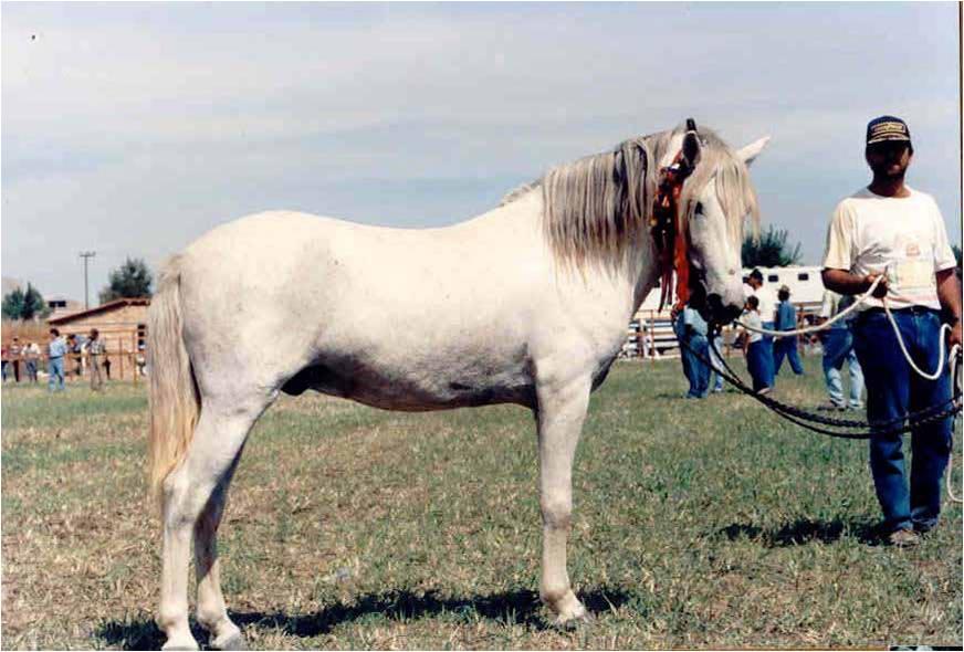 Peneia Pony (Menegatos)
