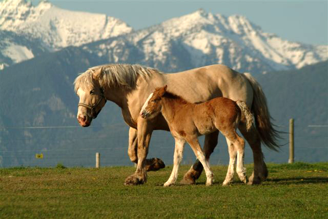 American Cream Draft Horse (flickr