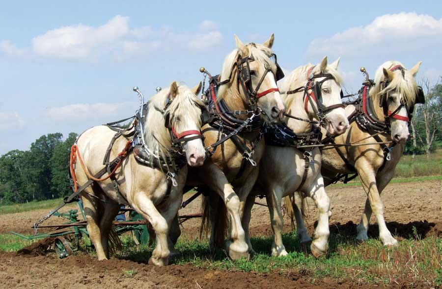American Cream Draft Horse (grit