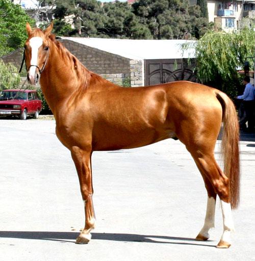 Karabakh - Golden-Boy-II-MNM(zabkonniki