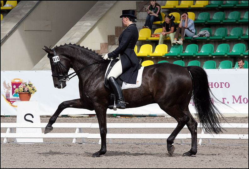 Русская верховая порода лошадей - Зорро (status-studfarm