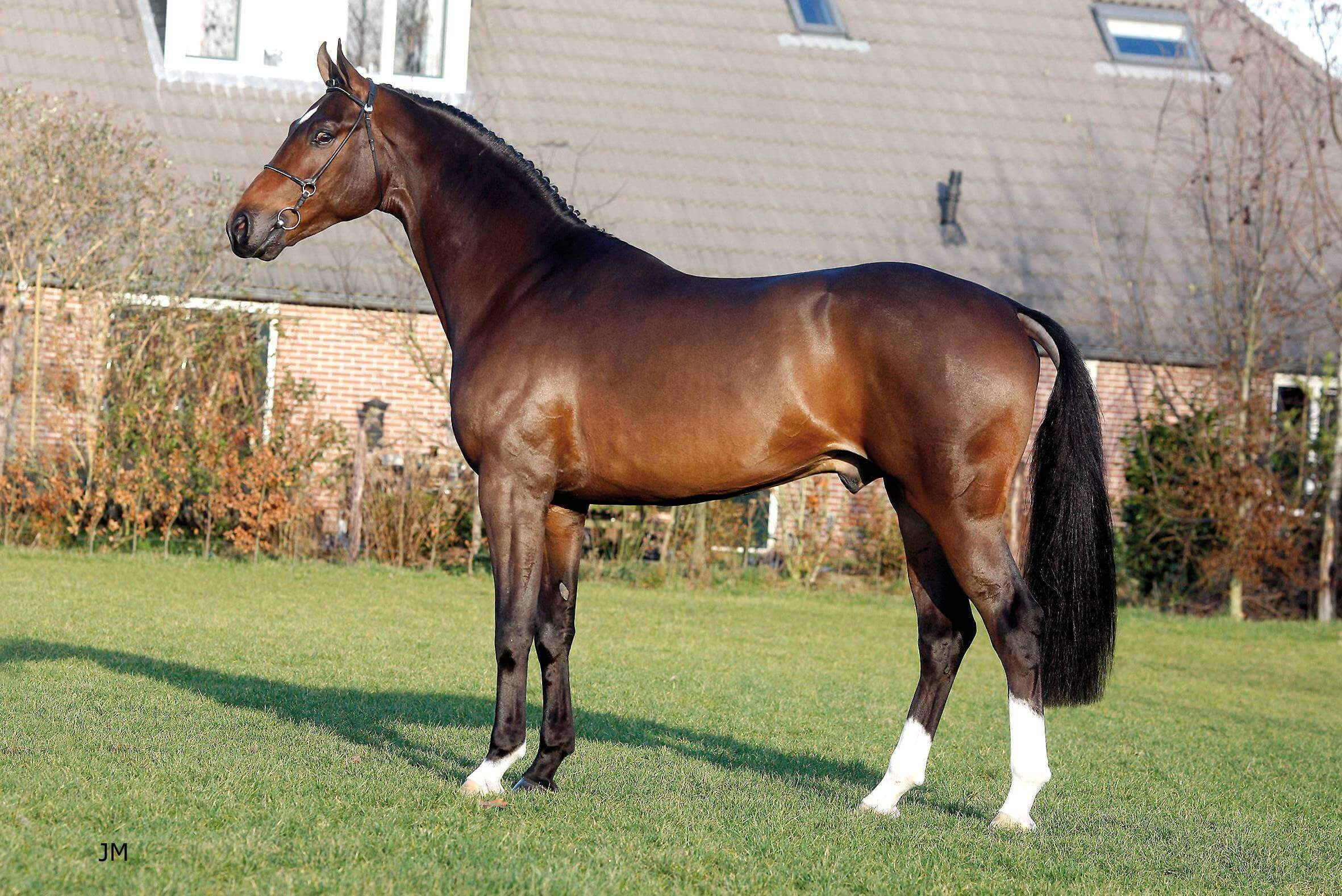 dutch-warmblood (khongthe