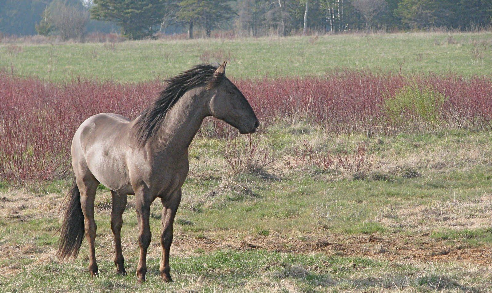 Sorraia (horsebreedsinfo