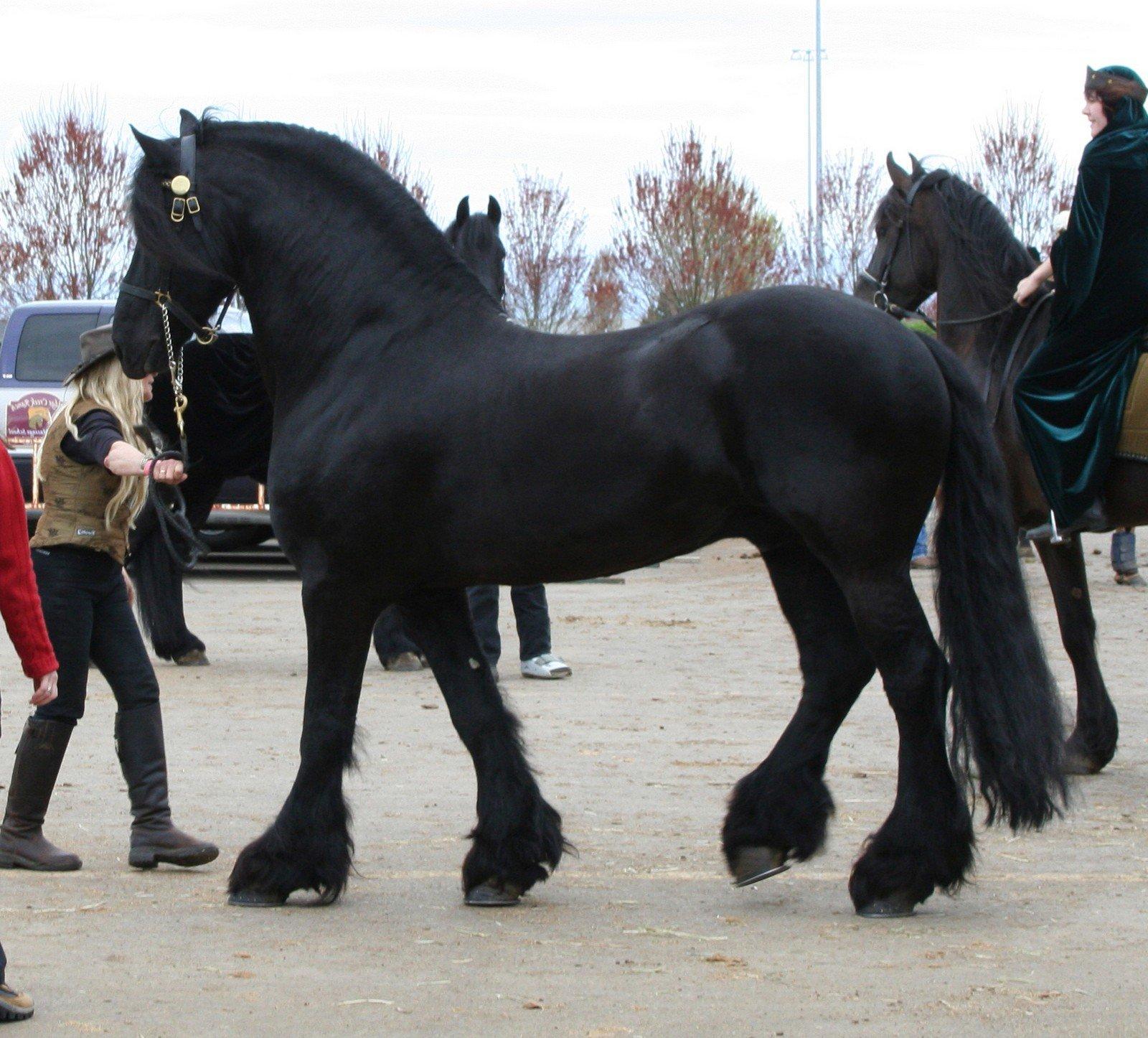 Фото лошади фризской породы в недоуздке