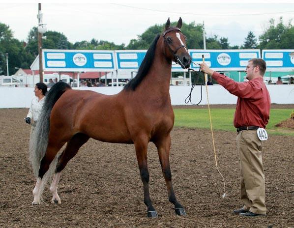 Gulastra Plume - Morgan horse (morgancolors
