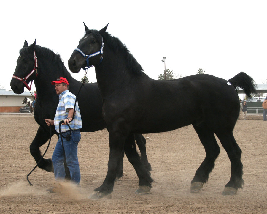 Percheron (personal