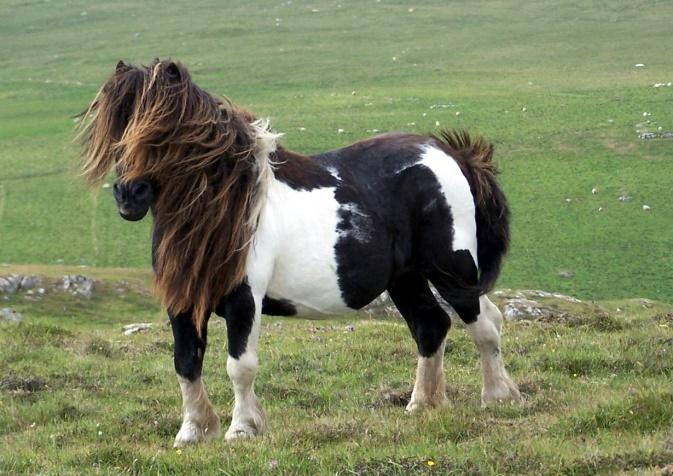 Shetland Pony (worldshet