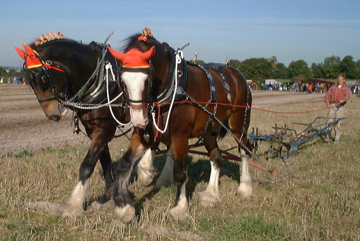 Shire_horses_ploughing